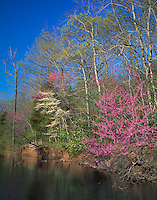 Devil's Den State Park, AR<br /> Flowering Eastern Redbud tree (Cercis canadensis) in spring forest along Lee Creek