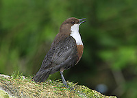 Dipper Cinclus cinclus L 18cm. Dumpy waterside bird that perches on river boulders. Flies low over water. Dives readily in search of invertebrates. Sexes are similar. Adult has dark grey-brown wings, back and tail. Head is reddish brown and throat and breast (bib) are white. Belly grades from reddish chestnut at front to blackish brown at rear. Legs and feet are stout and powerful. Juvenile has greyish upperparts and barred, pale underparts. Voice Utters a shrill striitz call. Status Fairly common but local on fast-flowing streams and rivers.