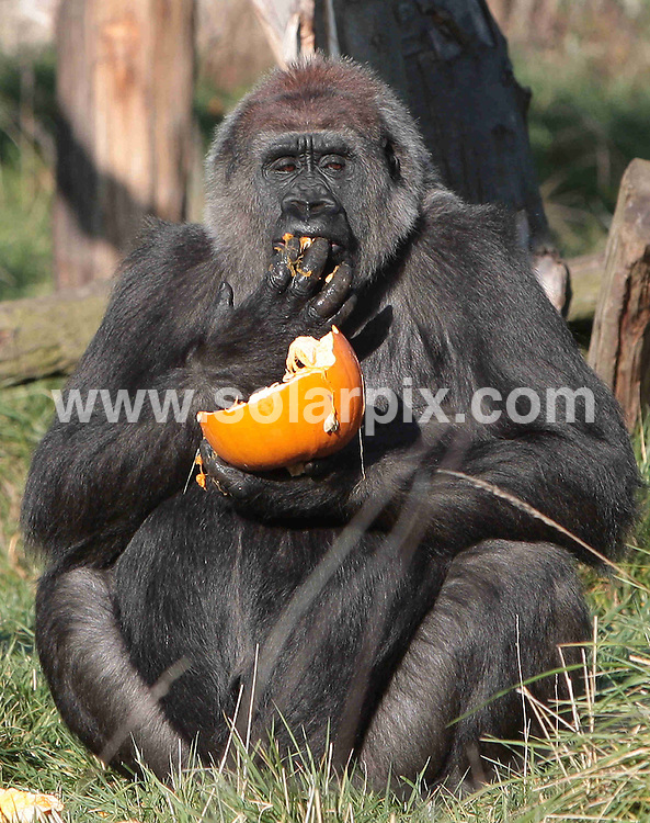 **ALL ROUND PICTURES FROM SOLARPIX.COM**.**NO UK NEWSPAPER PUBLICATION **UK MAGAZINE & SUPPLEMENT PUBLICATION ONLY** AND NO PUBLICATION IN FRANCE, SCANDINAVIA, AUSTRALIA AND GERMANY** .Effie the gorilla tucks into a pumpkin during a photocall this morning to launch London Zoo's Halloween Hide'n'Freak event during the October half term school holidays...JOB REF:7663-SFE       DATE:22_10_08 .**MUST CREDIT SOLARPIX.COM OR DOUBLE FEE WILL BE CHARGED* *UNDER NO CIRCUMSTANCES IS THIS IMAGE TO BE REPRODUCED FOR ANY ONLINE EDITION WITHOUT PRIOR PERMISSION*