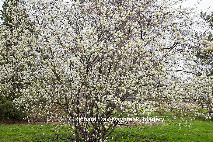 63808-03008 Shadbush Serviceberry (Amelanchier canadensis) blooming, Marion Co, IL