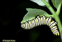 MO02-015e  Monarch Butterfly - caterpillar on milkweed, eating - Danaus plexippus