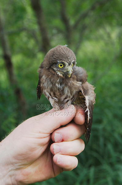 Wildlife biologist banding and conducting research on Pygmy Owls, holding young owl, Willacy County, Rio Grande Valley, Texas, USA, May 2007