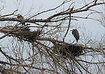 Blue Heron nest in trees along the river banks of the Delta near Antioch, California.