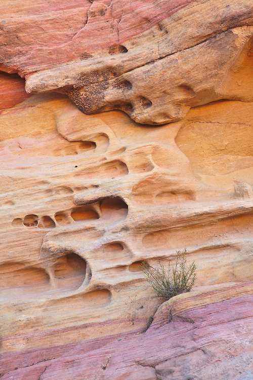 Vegetation persistently grows on the side of a multi-colored, striated Aztec sandstone cliff wall in an unnamed canyon in Valley of Fire State Park, Nevada, USA