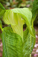Arisaema triphyllum 'Mrs. French's Veined Form' in spring bloom, native Jack in the Pulpit with green alba flower