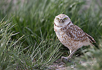 Among the various owl species we saw in Idaho was this cute Burrowing owl.