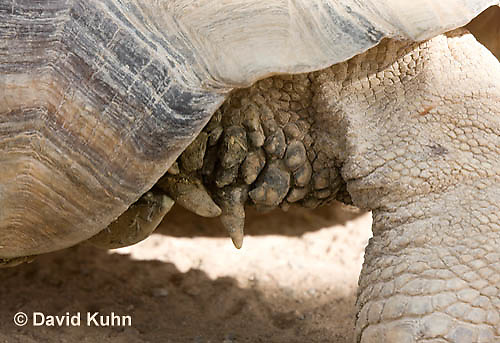 1121-0804  African Spurred Tortoise Details of Spurs on Rear Leg, Geochelone sulcata © David Kuhn/Dwight Kuhn Photography
