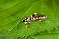 Schlupfwespe, Männchen, male, Diphyus palliatorius, Diphyus aequivocus, Ichneumonidae, Ichneumon Wasp