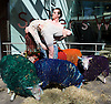 Multi-coloured sheep travelled from Suffolk to London to perform with dancers, Shaun Dillon and Kim Collins, in front of Sadler&rsquo;s Wells, London, Great Britain (SEE EMBARGO)<br />