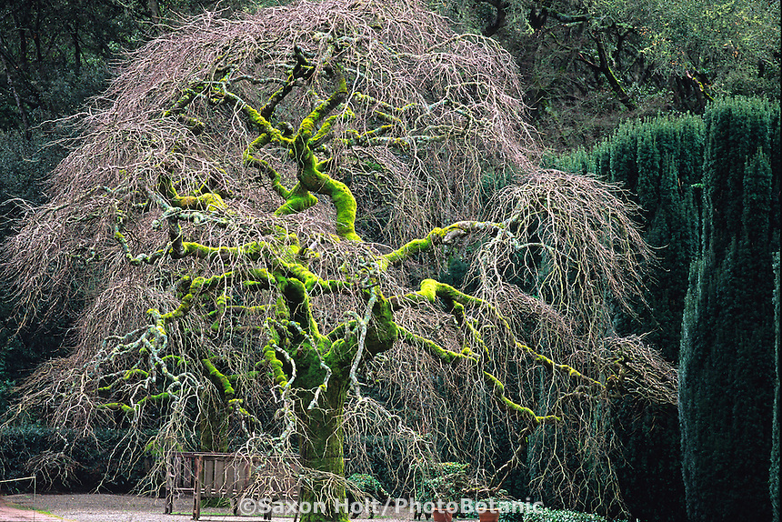 Ulmus glabra 'Camperdownii', Camperdown Elm tree in winter; deciduous bare branches in estate garden