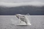 Whale Breaches