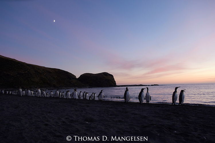 King penguins at St. Andrews Bay on a South Georgia beach at sunrise.
