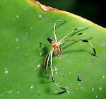 Spider, Family: Dysderidae, has large chelicerae and long fangs, Belize.Belize....