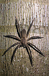 Huntsman Spider, Heteropoda venatoria, Belize, hunting at night, Central America