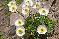 Alpen-Hahnenfuß, Alpenhahnenfuß, Ranunculus alpestris, Alpine buttercup