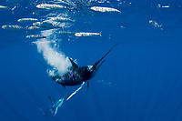 striped marlin, Kajikia audax, targets another sardine which has strayed a little bit outside the baitball of sardines, Sardinops sagax, off Baja California, Mexico (Eastern Pacific Ocean) #4 in sequence of 6 images (dm)