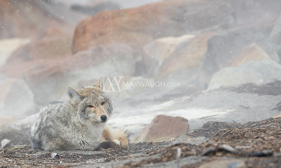 This coyote curled up near steam vents along the shores of Yellowstone Lake to warm itself on a windy winter day.
