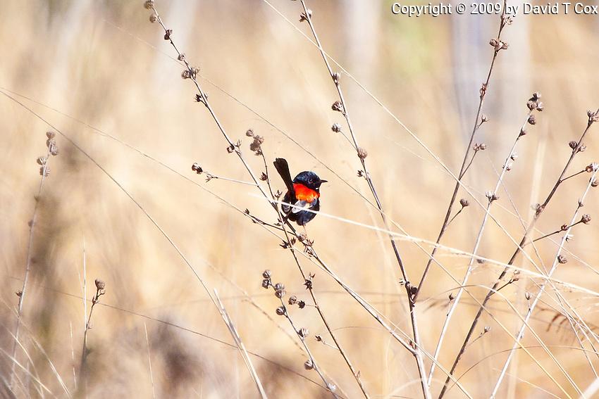 Red-Backed Fairy-Wren, Mareeba Wetlands, Queensland, Australia