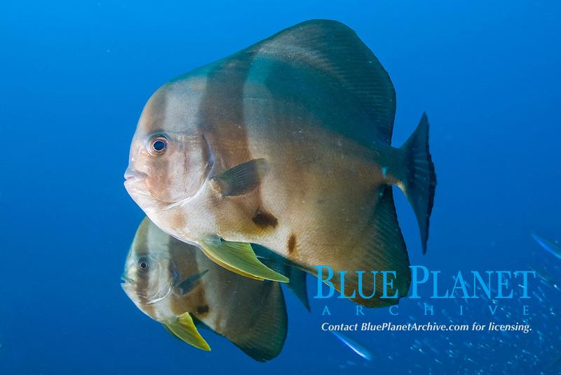 Batfish, Platax sp., hang out at the top of the mast of the Shinkoku Maru in Truk Lagoon, Chuuk, Micronesia, Pacfic Ocean