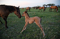 A mare nuzzles her foal as the rest of the Gila herd grazes in the field.  Mustangs are protected by law since 1971 when Wil Horse Annie lobbied congress.<br />