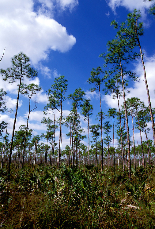 FL: Florida Everglades National Park, slash pines, Pinelands.Photo Copyright: Lee Foster, lee@fostertravel.com, www.fostertravel.com, (510) 549-2202.Image: flever203