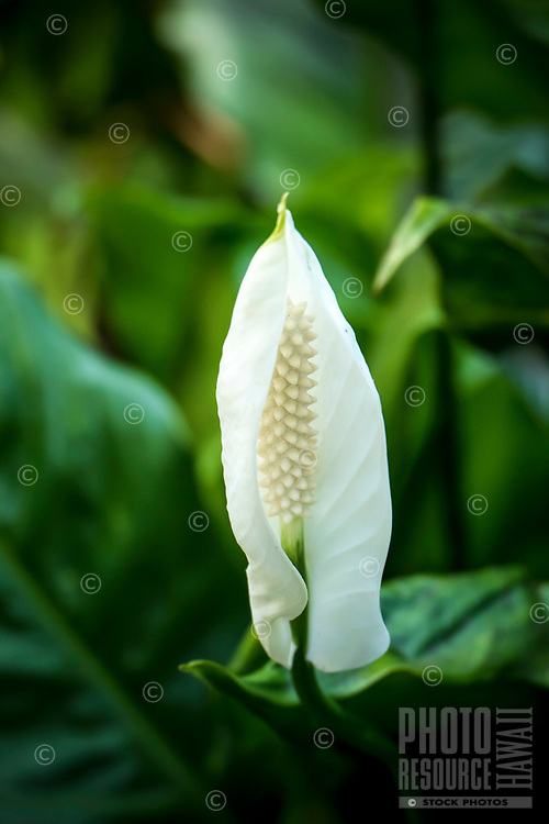 Beautiful white flower in bloom at Hawaii Tropical Botanical Garden near Onomea Bay in Papa'ikou near Hilo, Big Island of Hawai'i.