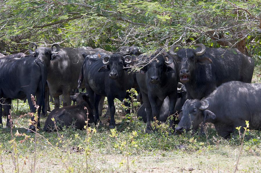 Water buffaloes at Hato RÍo de Agua.