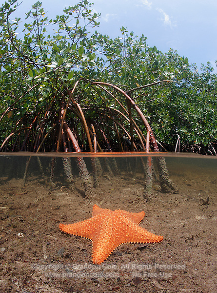 qa0102-D. split view of mangrove habitat, showing Red Mangroves (Rhizophora mangle) above and Cushion Sea Star (Oreaster reticulatus) below. Bahamas, Atlantic Ocean..Photo Copyright © Brandon Cole. All rights reserved worldwide.  www.brandoncole.com..This photo is NOT free. It is NOT in the public domain. This photo is a Copyrighted Work, registered with the US Copyright Office. .Rights to reproduction of photograph granted only upon payment in full of agreed upon licensing fee. Any use of this photo prior to such payment is an infringement of copyright and punishable by fines up to  $150,000 USD...Brandon Cole.MARINE PHOTOGRAPHY.http://www.brandoncole.com.email: brandoncole@msn.com.4917 N. Boeing Rd..Spokane Valley, WA  99206  USA.tel: 509-535-3489