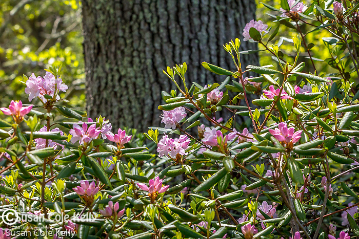 Rhododendron blooming at Maudslay State Park in Newburyport, Massachusetts, USA