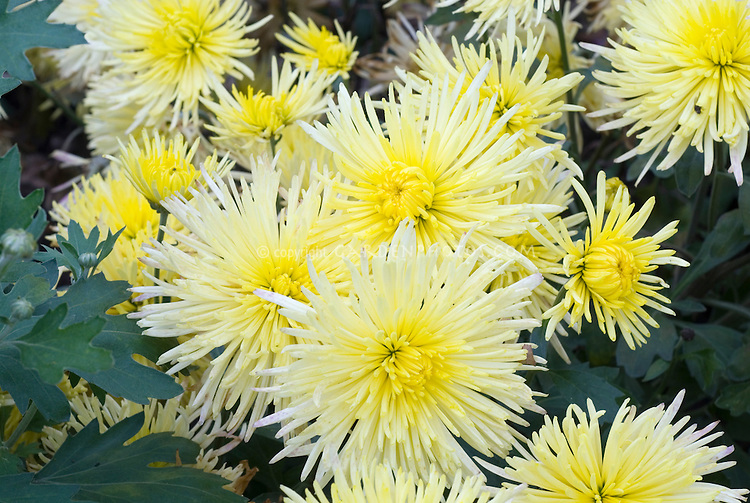 Chrysanthemum sea urchin cactus plant flower stock photography chrysanthemum sea urchin cactus type yellow with gold center showing many spiky flowers mightylinksfo