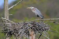 Adult Great Blue Herons (Ardea herodias) and nests in rookery. Tompkins County, New York. May.