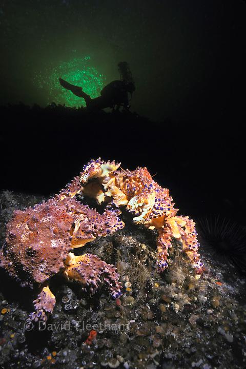Puget sound king crabs, Lopholithodes mandtii, and diver (MR), British Columbia, Canada.