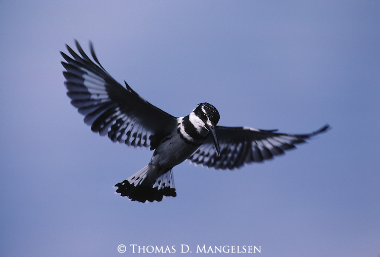 A portrait of a pied kingfisher in flight at Lake Naivasha in Kenya.