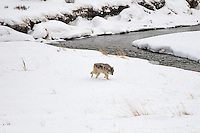 Grey Yellowstone wolf, on the prowl