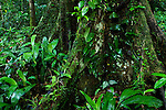 Meranti (Dipterocarpaceae) tree buttress root in lowland rainforest, Tawau Hills Park, Sabah, Borneo, Malaysia