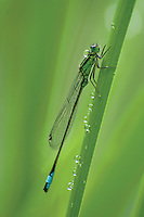 Damselfly<br /> <br /> Copyright www.scottishhorizons.co.uk/Keith Fergus 2011 All Rights Reserved