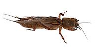 Oriental Mole Cricket - Gryllotalpa orientalis