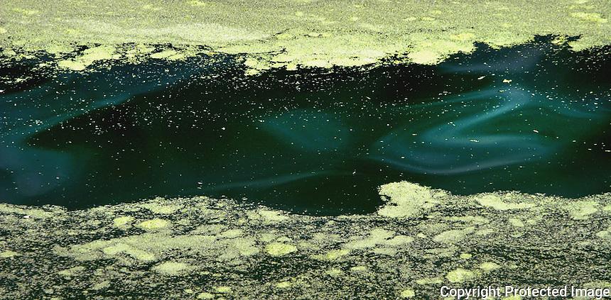 Duckweed growth on water.