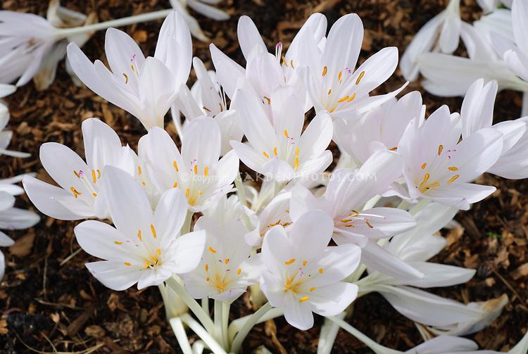 Colchicum byzantinum 'Innocence' autumn white flowering flowering bulb in fall bloom