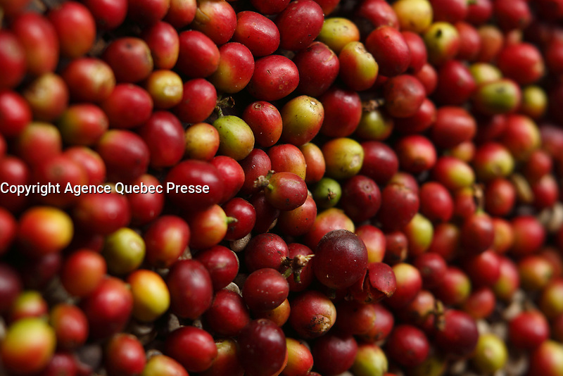 Doi Inthanon National Park ,coffee beans