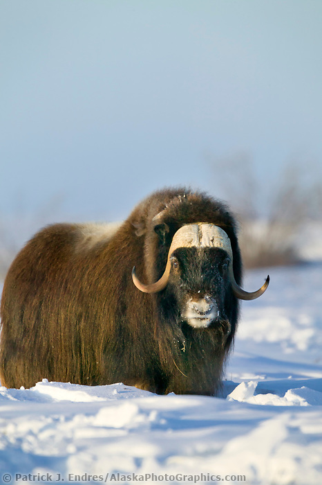 Bull Musk Ox on Alaska's snowy Arctic Coastal Plain.