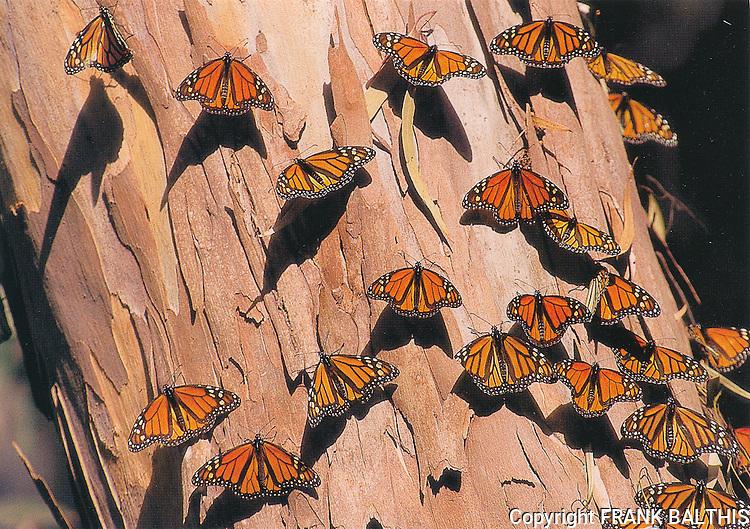 FB-S41R,  4x6 postcard, monarch butterflies, eucalyptus bark