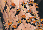 FB-S41R,  4x6 postcard, monarch butterflies, eucalyptus bark