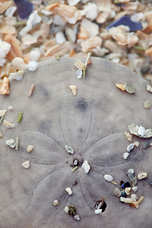A sand dollar rests on Sand Beach in Acadia National Park, Mount Desert Island, Maine, USA