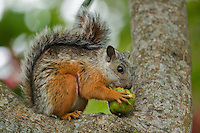 Variegated squirrel, Sciurus variegatoides, eating fruit from a tree in the gardens of the Hotel Bougainvillea, San Jose, Costa Rica