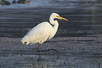Intermediate Egret - Mesophoyx intermedia