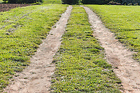 Farm road, a two track farm road at Community Supported Agriculture Farm, 47th Avenue Farm.  Luscher Farms Park, City of Lake Oswego, Oregon, USA.