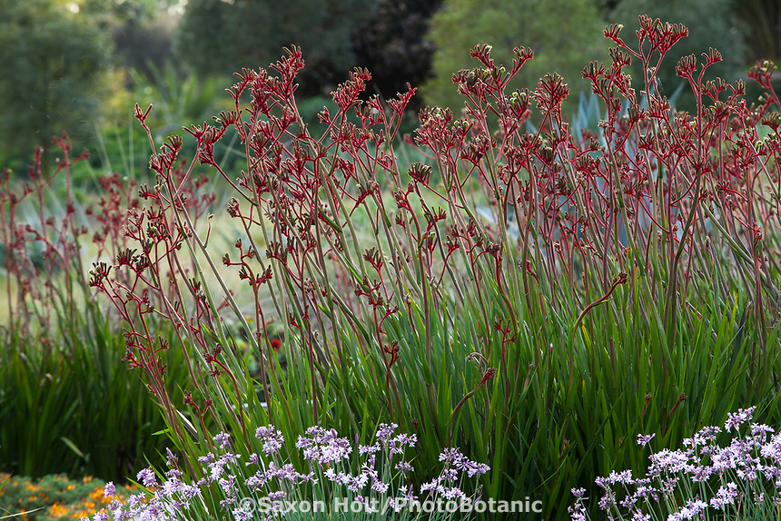 Anigozanthos 'Regal Velvet' <br /> (Kangaroo Paws) flowering in Huntington Botanic Garden