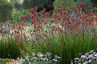 Anigozanthos 'Regal Velvet' <br /> (Kangaroo Paws) flowering in Huntington Botanic Garden