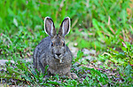 Wildlife - Rabbit